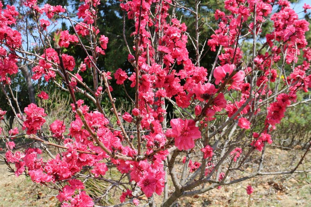 仁淀川沿いにある花桃の里